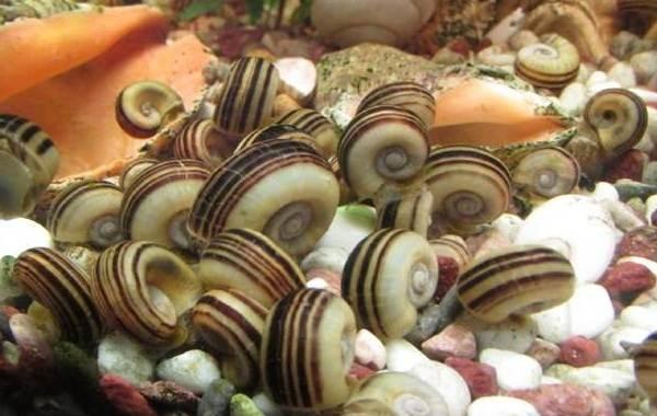 Брюхоногие-моллюски-Описание-особенности-виды-и-значение-брюхоногих-моллюсков-11