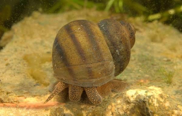 Брюхоногие-моллюски-Описание-особенности-виды-и-значение-брюхоногих-моллюсков-12