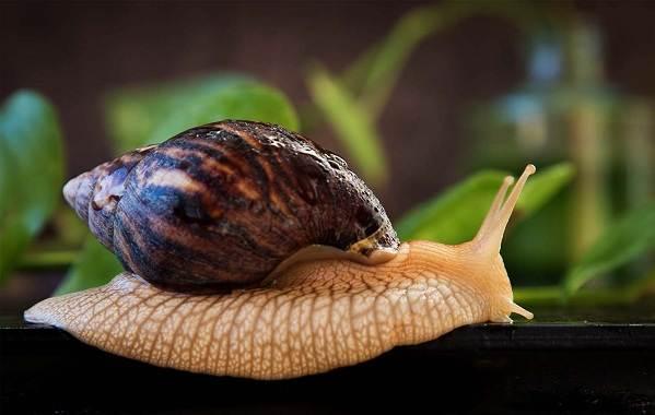 Брюхоногие-моллюски-Описание-особенности-виды-и-значение-брюхоногих-моллюсков-15