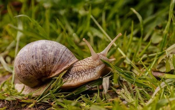 Брюхоногие-моллюски-Описание-особенности-виды-и-значение-брюхоногих-моллюсков-20