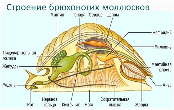 Брюхоногие-моллюски-Описание-особенности-виды-и-значение-брюхоногих-моллюсков-3