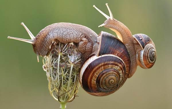 Брюхоногие-моллюски-Описание-особенности-виды-и-значение-брюхоногих-моллюсков-4