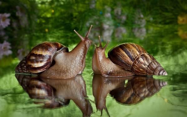 Брюхоногие-моллюски-Описание-особенности-виды-и-значение-брюхоногих-моллюсков-5