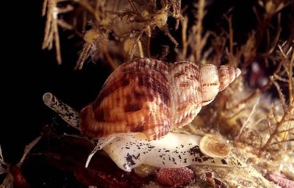 Брюхоногие-моллюски-Описание-особенности-виды-и-значение-брюхоногих-моллюсков-8