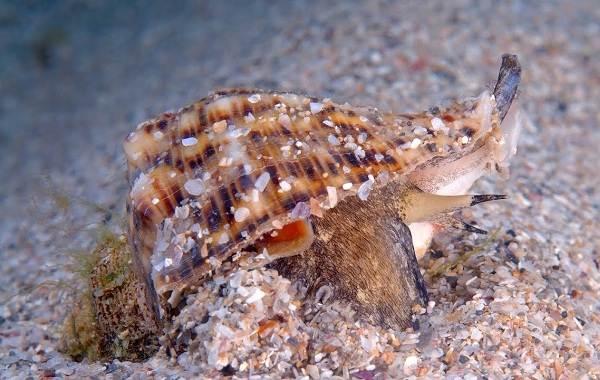 Брюхоногие-моллюски-Описание-особенности-виды-и-значение-брюхоногих-моллюсков-9