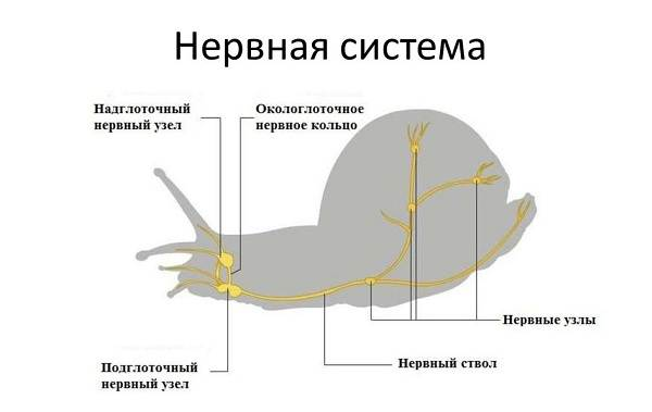 Брюхоногие-моллюски-Описание-особенности-виды-и-значение-брюхоногих-моллюсков