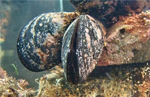 Двустворчатые-моллюски-Описание-особенности-строение-и-виды-двустворчатых-моллюсков-11