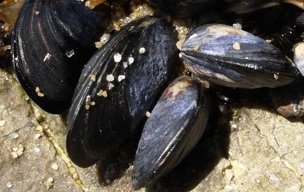 Двустворчатые-моллюски-Описание-особенности-строение-и-виды-двустворчатых-моллюсков-15