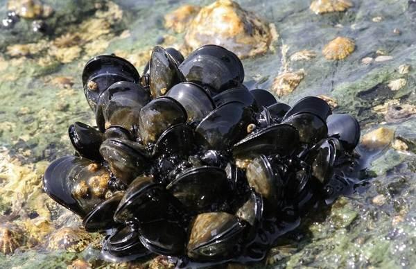 Двустворчатые-моллюски-Описание-особенности-строение-и-виды-двустворчатых-моллюсков-16