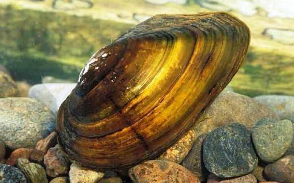 Двустворчатые-моллюски-Описание-особенности-строение-и-виды-двустворчатых-моллюсков-17