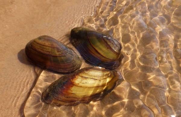 Двустворчатые-моллюски-Описание-особенности-строение-и-виды-двустворчатых-моллюсков-18