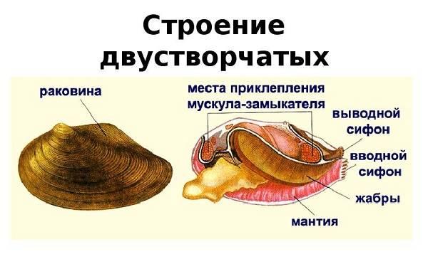 Двустворчатые-моллюски-Описание-особенности-строение-и-виды-двустворчатых-моллюсков-2