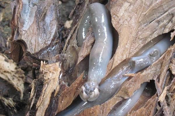 Двустворчатые-моллюски-Описание-особенности-строение-и-виды-двустворчатых-моллюсков-20