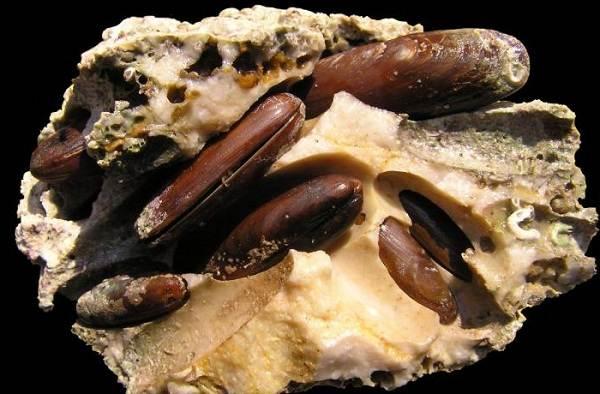 Двустворчатые-моллюски-Описание-особенности-строение-и-виды-двустворчатых-моллюсков-22