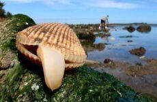 Двустворчатые моллюски. Описание, особенности, строение и виды двустворчатых моллюсков