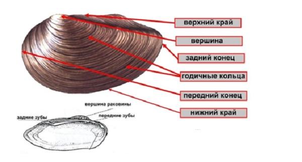 Двустворчатые-моллюски-Описание-особенности-строение-и-виды-двустворчатых-моллюсков-29