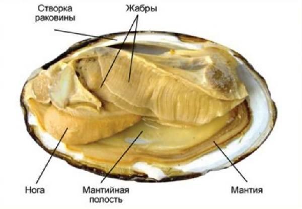 Двустворчатые-моллюски-Описание-особенности-строение-и-виды-двустворчатых-моллюсков-3