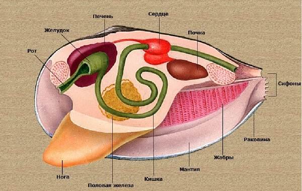 Двустворчатые-моллюски-Описание-особенности-строение-и-виды-двустворчатых-моллюсков-4