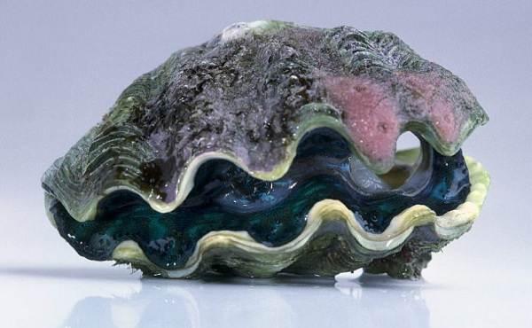 Двустворчатые-моллюски-Описание-особенности-строение-и-виды-двустворчатых-моллюсков-6