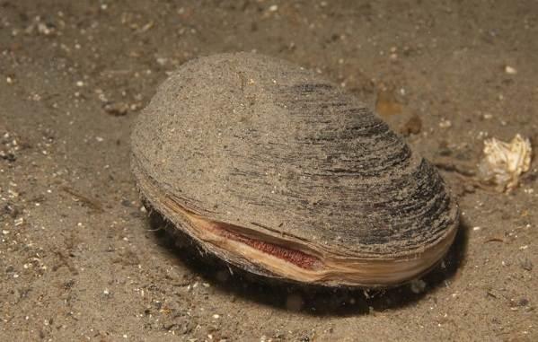 Двустворчатые-моллюски-Описание-особенности-строение-и-виды-двустворчатых-моллюсков-8