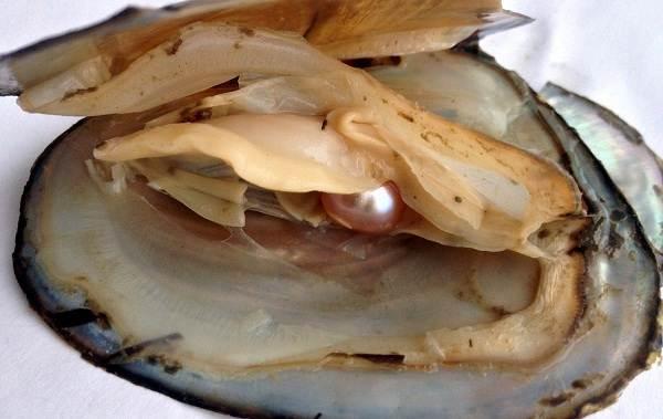 Двустворчатые-моллюски-Описание-особенности-строение-и-виды-двустворчатых-моллюсков-9