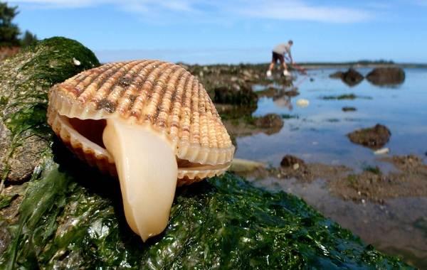 Двустворчатые-моллюски-Описание-особенности-строение-и-виды-двустворчатых-моллюсков