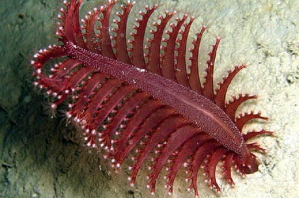 Коралловые-полипы-Описание-особенности-виды-и-значение-коралловых-полипов-16