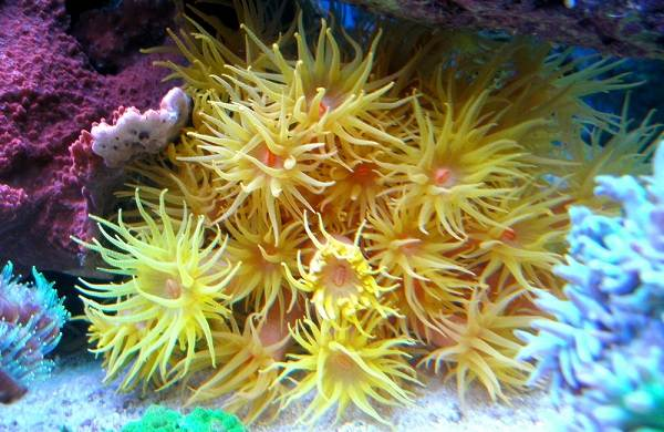 Коралловые-полипы-Описание-особенности-виды-и-значение-коралловых-полипов-17