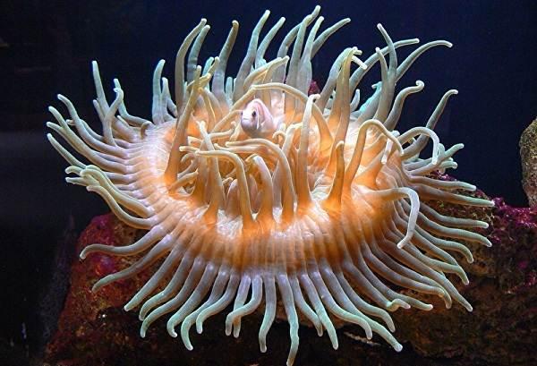 Коралловые-полипы-Описание-особенности-виды-и-значение-коралловых-полипов-23
