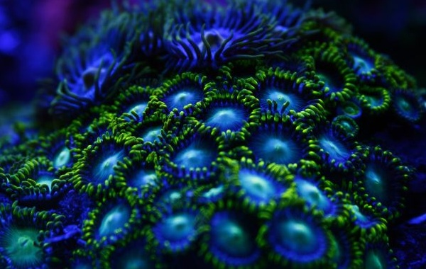 Коралловые-полипы-Описание-особенности-виды-и-значение-коралловых-полипов-25