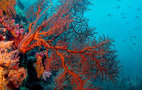 Коралловые-полипы-Описание-особенности-виды-и-значение-коралловых-полипов-30