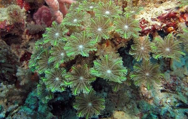 Коралловые-полипы-Описание-особенности-виды-и-значение-коралловых-полипов-6