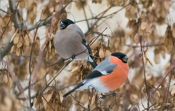 Осёдлые-птицы-Описания-названия-и-виды-осёдлых-птиц-10