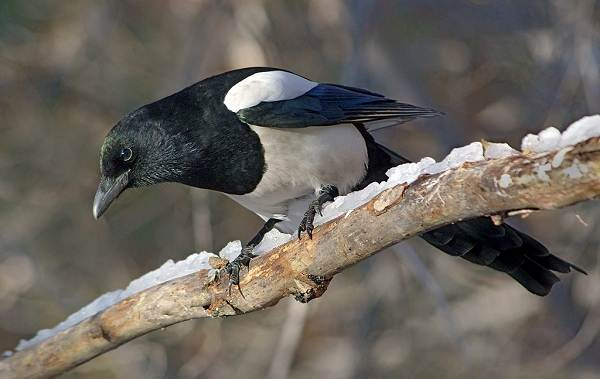 Осёдлые-птицы-Описания-названия-и-виды-осёдлых-птиц-13