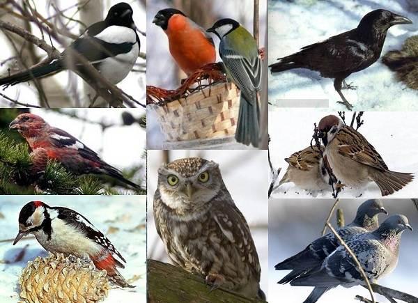 Осёдлые-птицы-Описания-названия-и-виды-осёдлых-птиц-2