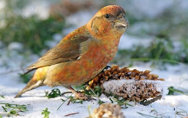 Осёдлые-птицы-Описания-названия-и-виды-осёдлых-птиц-20
