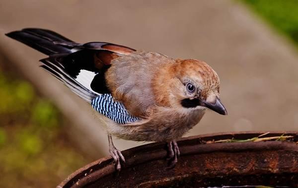 Осёдлые-птицы-Описания-названия-и-виды-осёдлых-птиц-21