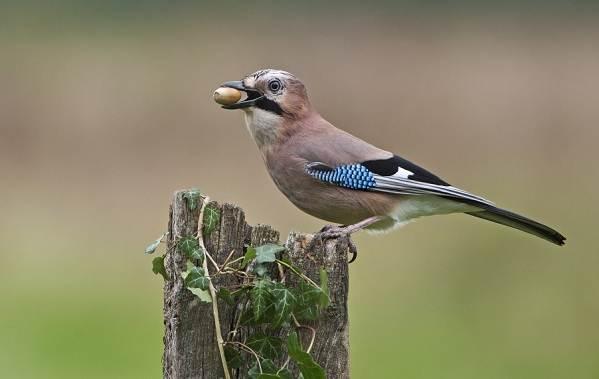 Осёдлые-птицы-Описания-названия-и-виды-осёдлых-птиц-22