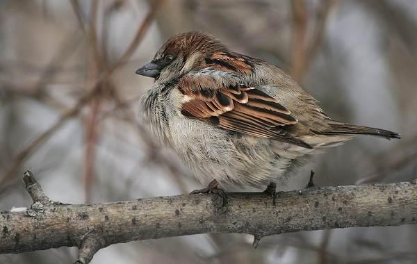Осёдлые-птицы-Описания-названия-и-виды-осёдлых-птиц-4