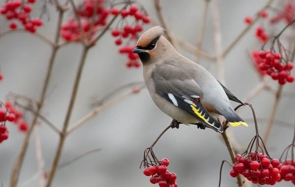 Осёдлые-птицы-Описания-названия-и-виды-осёдлых-птиц-5