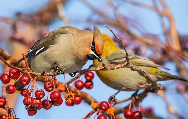 Осёдлые-птицы-Описания-названия-и-виды-осёдлых-птиц-6