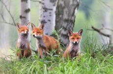 Виды лис. Описание, особенности, названия и образ жизни видов лисиц