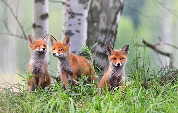 Виды-лис-Описание-особенности-названия-и-образ-жизни-видов-лисиц-1