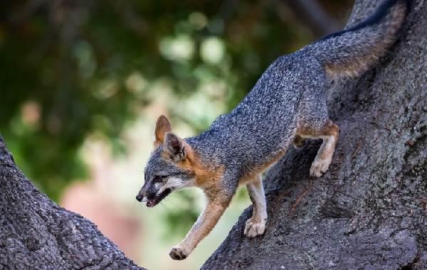 Виды-лис-Описание-особенности-названия-и-образ-жизни-видов-лисиц-12