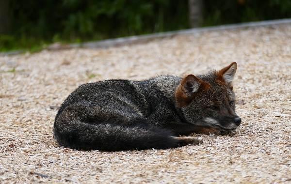 Виды-лис-Описание-особенности-названия-и-образ-жизни-видов-лисиц-13