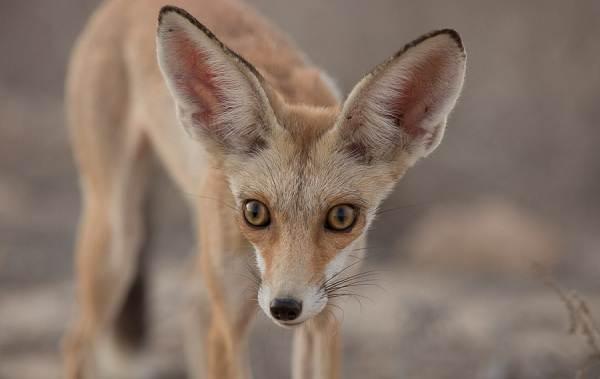 Виды-лис-Описание-особенности-названия-и-образ-жизни-видов-лисиц-14