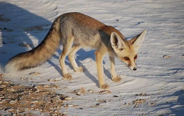 Виды-лис-Описание-особенности-названия-и-образ-жизни-видов-лисиц-15