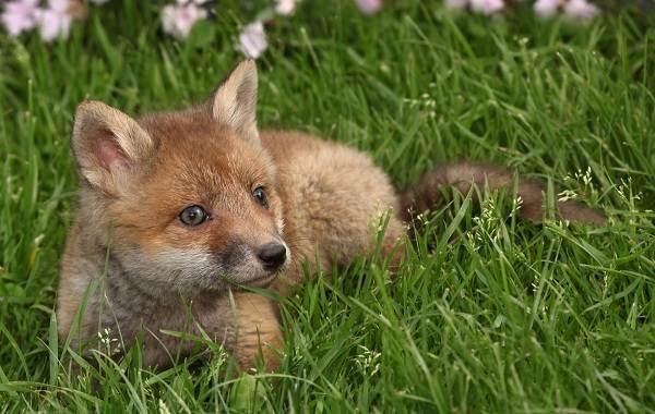 Виды-лис-Описание-особенности-названия-и-образ-жизни-видов-лисиц-16