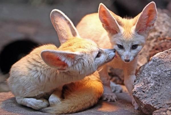 Виды-лис-Описание-особенности-названия-и-образ-жизни-видов-лисиц-17
