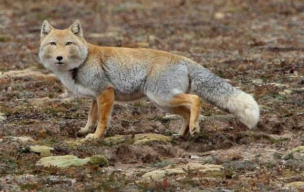 Виды-лис-Описание-особенности-названия-и-образ-жизни-видов-лисиц-18